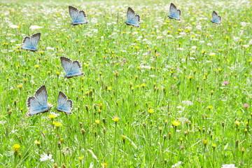 Blue butterflies flying on green meadow background