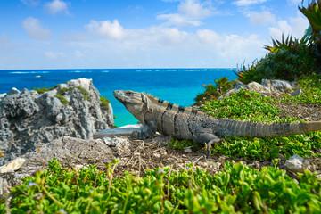 Mexican iguana in Tulum in Riviera Maya