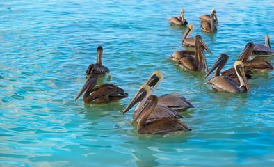 Wall Mural - Pelican birds in Caribbean Mexico