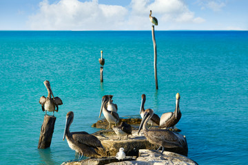 Wall Mural - Pelican birds in Caribbean pier Mexico