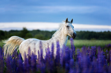 Arabian horse running free on a lupine flowers meadow.