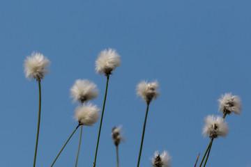 flower of natural cotton grass (Eriophorum)
