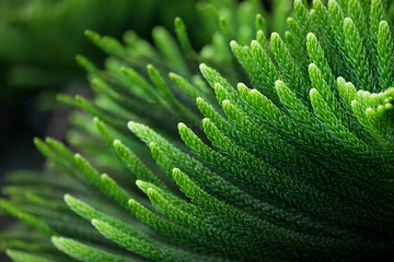 Araucaria heterophylla Leaf. Green nature background.