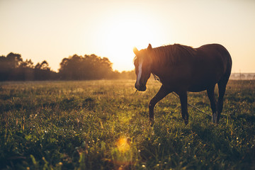 Horse grazing in meadow in sunlight on sunset