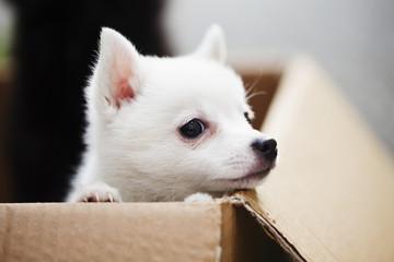 Curious spitz puppy