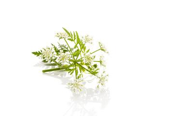 wild chervil plant