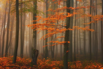 Autumn foggy mystical forest, bright fall colors nature background suitable for wallpaper