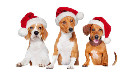 Closeup picture of three dogs wearing santa hats holding the blank board