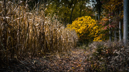 The edge of a corn field with vibrant yellow autumn foliage
