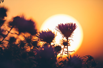 SIlhouette of autumn flowers against setting sun