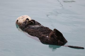 Seeotter schwimmt im Meer