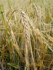 Спелый колосок на фоне пшеничного поля крупным планом.