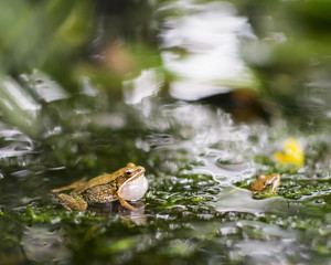 Two frogs croaking in pond.