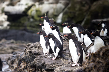 Rockhopper Penguins, Saunders Island, Falkland Islands.