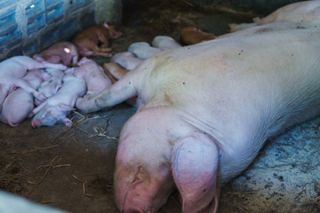 Small piglet and mother in the farm