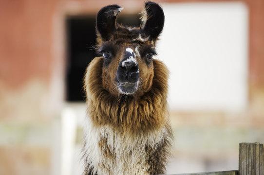 Horizontal image of a multi colored llama staring at the camera.