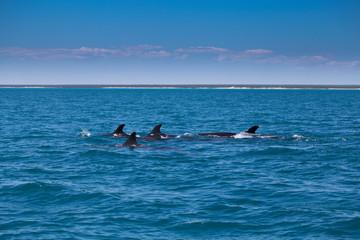 A pod of False Killer Whales, Kimberley Coast, Western Australia
