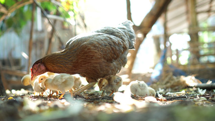 Hen chick rearing in natural