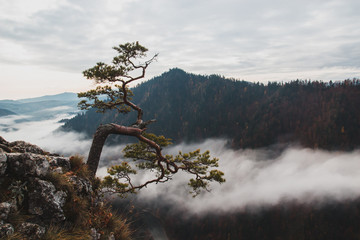 Relict pine grows from a rock in the mountains