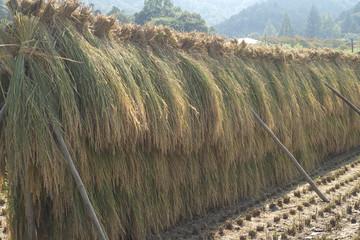 収穫した稲の天日干し