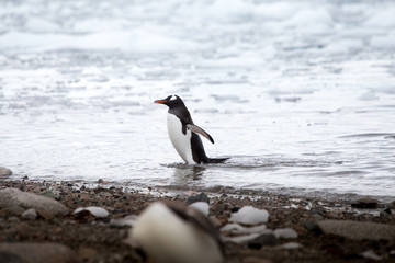 A gentoo penguin at Neko Harbour, Antarctica