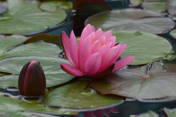 Wall Murals Water lilies Water Lily