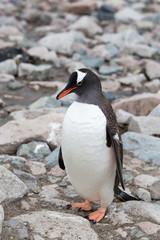 A gentoo penguin at Neko Harbour, Antarctica