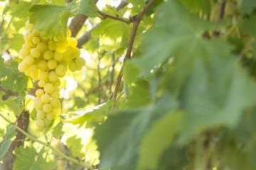 grape green ecologic
