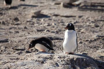 Gentoo Penguins, Neko Harbour, Antarctica