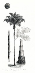 Solitary fishtail palm (Caryota urens)  (from Meyers Lexikon, 1896, 13/442/443)