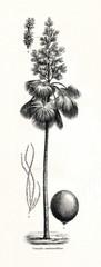 Talipot palm (Corypha umbraculifera) (from Meyers Lexikon, 1896, 13/442/443)