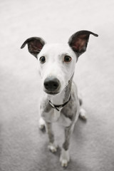 Cute Portrait of Whippet Puppy on Gray