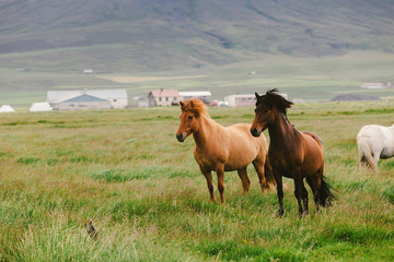 Icelandic Wild Horses in the Pasture