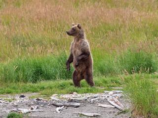 Katmai Bear Standing Lookout