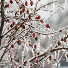 branches and rose hips in winte