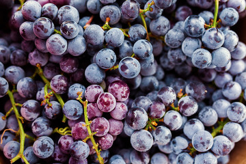 A Bunch of Purple and Blue Organic Grapes Covered In Condensation