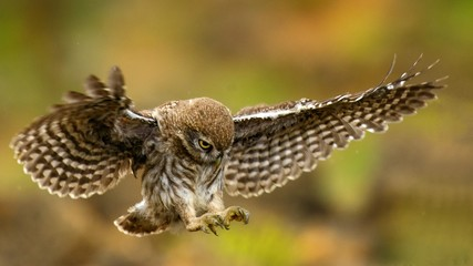 Fototapete - young ittle owl is flying