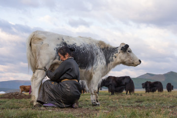 Mongolian woman milking a yak in northern Mongolia.