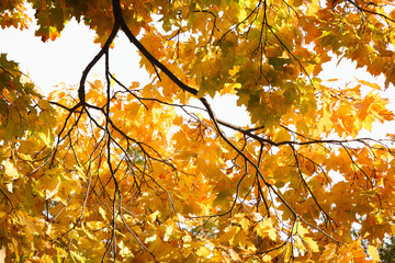 Maple branch with orange leaves in the forest in autumn