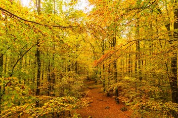 golden autumn forest in soutern germany