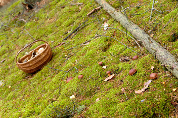 Full basket of mushrooms in warm green, thick, wet moss layer. Autumn forest with mushrooms.