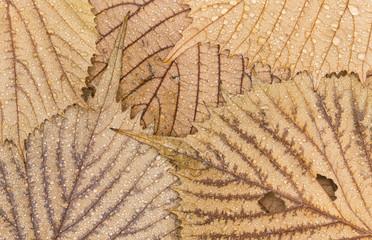 Euptelea leaves and raindrops, closeup