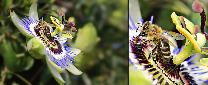 Close up of a bee sucking pollen on a passion fruit flower