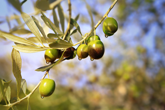 Mature olives with leaves on the branch of an olive tree before olive harvest