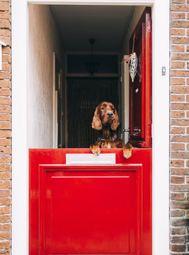 Dog looking out of a red half-door