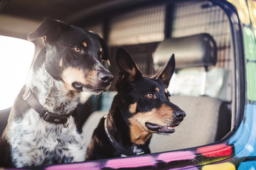Cute Dogs inside a Van