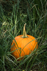 ripe orange pumpkin in tall grass