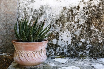 Aloe plant in a pot against a crumbling wall