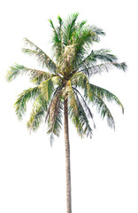 Coconut tree on white background,Coconut tree on isolated on white background,plam tree
