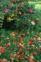 Fallen autumn leaves on grass and a green briar of a dogrose.